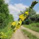 צמחי מרפא אבגר צהוב