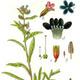 צמחי מרפא לשון-פר סמורה