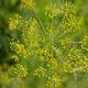 צמחי מרפא שבת ריחני