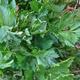 צמחי מרפא כרפס ריחני
