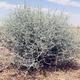 צמחי מרפא לענת המדבר
