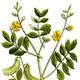 צמחי מרפא כסיה מדברית