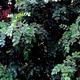 צמחי מרפא חרוב מצוי