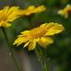 צמחי מרפא חרצית עטורה