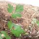 צמחי מרפא גד השדה