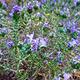 צמחי מרפא קורנית מקרקפת