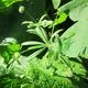 צמחי מרפא דבקה זיפנית