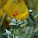 צמחי מרפא פרגה צהבה