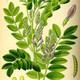 צמחי מרפא שוש קרח