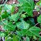 צמחי מרפא קיסוס החרש