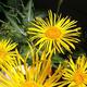 צמחי מרפא טיון דביק