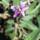צמחי מרפא אטד אירופי