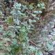 צמחי מרפא אזוב מצוי (זעתר)