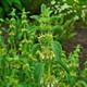 צמחי מרפא מרוביין מצוי
