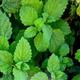 צמחי מרפא מליסה רפואית