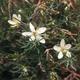 צמחי מרפא שבר לבן