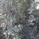 צמחי מרפא אלת המסטיק