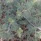 צמחי מרפא ינבוט השדה