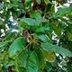 צמחי מרפא אלון התבור