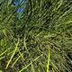 צמחי מרפא רתם המדבר