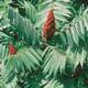 צמחי מרפא אוג הבורסקאים (סומק)