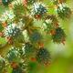 צמחי מרפא קיקיון מצוי