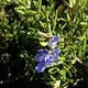 צמחי מרפא רוזמרין רפואי