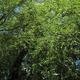 צמחי מרפא ערבה לבנה