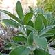 צמחי מרפא מרוה משלשת