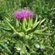 צמחי מרפא גדילן מצוי