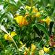 צמחי מרפא גרגרנית יונית