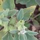 צמחי מרפא ויתניה משכרת
