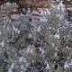 צמחי מרפא זוטה לבנה