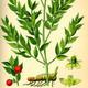 צמחי מרפא עצבונית החרש