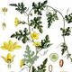 צמחי מרפא אבטיח הפקועה